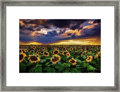 Colorado Sunflowers At Sunset Framed Print