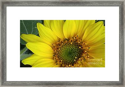 Colorado Wildflower Sunshine  Framed Print