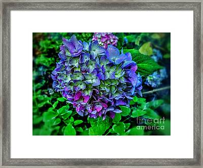 Colored Fairy Hydrangea Framed Print