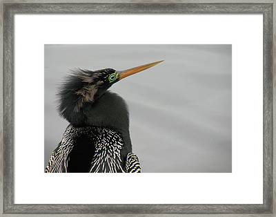 Colorful Anhinga Framed Print by Rosalie Scanlon