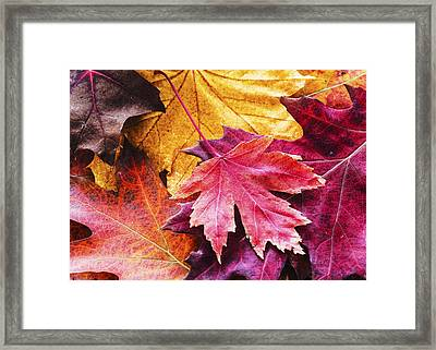 Colorful Autumn Leaves Closeup Framed Print by Vishwanath Bhat
