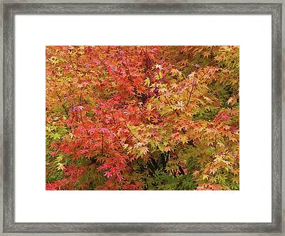 Colorful Autumn Maple Leaves Framed Print