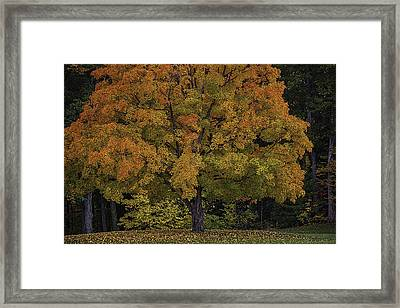 Colorful Autumn Maple Tree Framed Print by Garry Gay