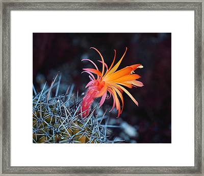 Colorful Cactus Flower Framed Print by Rona Black