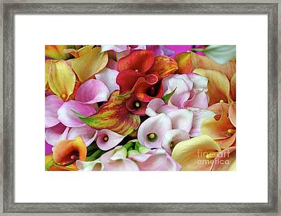 Colorful Calla Lilies Framed Print