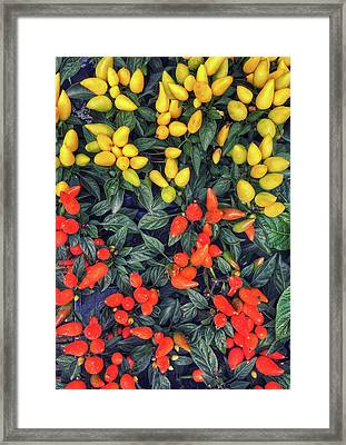 Colorful Capsicum Plants Framed Print by Tom Gowanlock