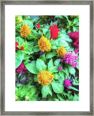 Colorful Celosia Flowers Framed Print