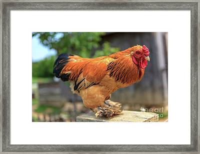 Colorful Chicken Framed Print