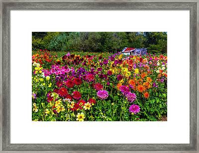 Colorful Dahlias In Garden Framed Print by Garry Gay