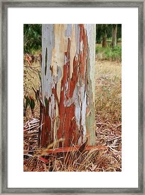 Colorful Eucalyptus Tree Bark 1 Framed Print