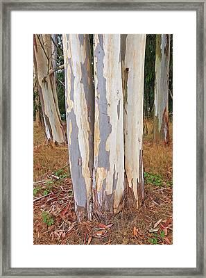 Colorful Eucalyptus Tree Bark 2 Framed Print