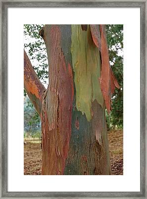 Colorful Eucalyptus Tree Bark 4 Framed Print