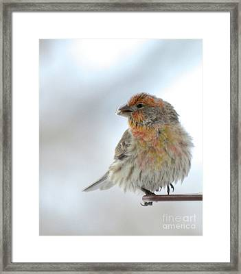 Colorful Finch Eating Breakfast Framed Print