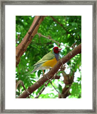 Colorful Finch Framed Print by George Jones