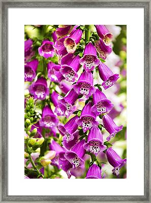 Colorful Foxglove Flowers Framed Print by Christina Rollo