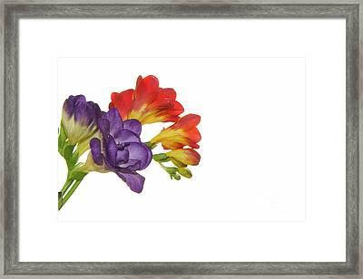 Colorful Freesias Framed Print