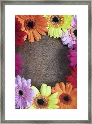 Colorful Gerbera Daisies In A Circle Framed Print