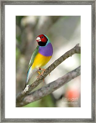 Colorful Gouldian Finch Framed Print