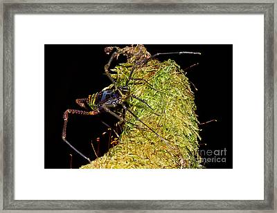Colorful Harvestman Framed Print by Dant� Fenolio