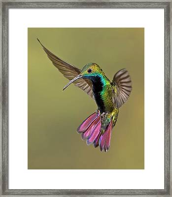 Colorful Humming Bird Framed Print