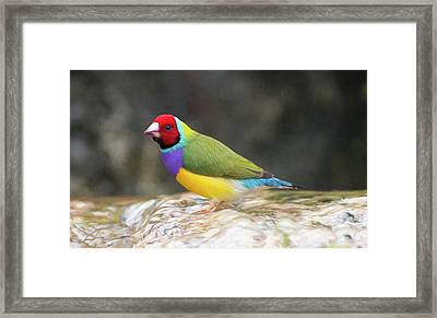 Colorful Lady Gulian Finch  Framed Print by Penny Lisowski