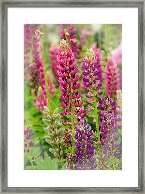 Colorful Lupine Framed Print
