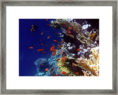 Colorful Lyretail Anthias Framed Print