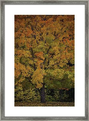 Colorful Maple Framed Print by Garry Gay