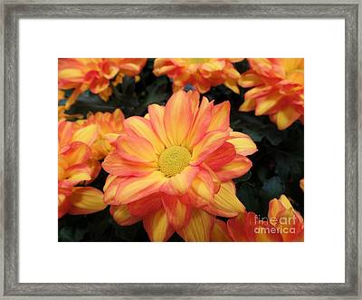 Framed Print featuring the photograph Colorful Mums by Ray Shrewsberry