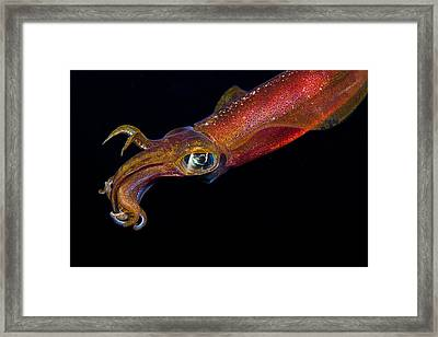 Colorful Oval Squid Framed Print by Dave Fleetham - Printscapes