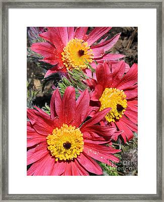Colorful Pasque Flowers Framed Print