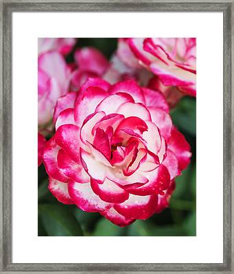 Colorful Pink And White Rose Closeup Framed Print by Vishwanath Bhat