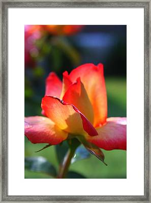 Colorful Rose Framed Print by Donald Tusa