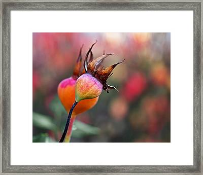 Colorful Rose Hips Framed Print by Rona Black