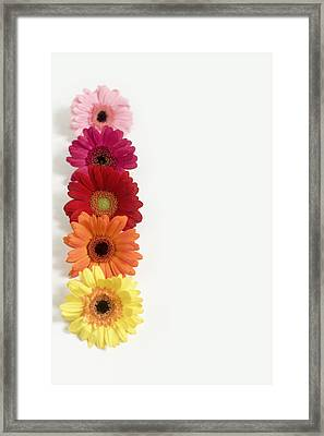 Colorful Row Of Gerbera Daisies Framed Print