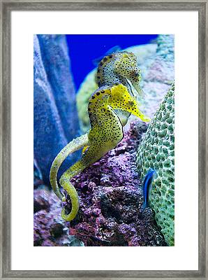 Colorful Seahorses Framed Print