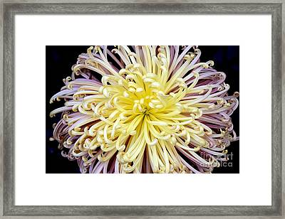 Colorful Spider Chrysanthemum   Framed Print