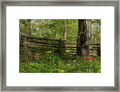 Colorful Tulips And A Rustic Fence - Enjoying The Beauty Of Spring Framed Print