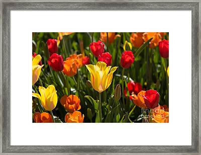 Colorful Tulips Framed Print by John Roberts