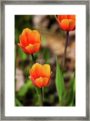 Colorful Tulips Framed Print by Karol Livote