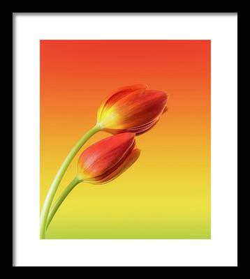 Red Tulips Framed Prints