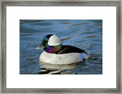Colorful Waterfowl Framed Print