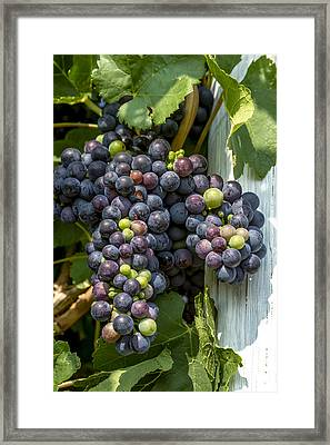 Colorful Wine Grapes On Grapevine Framed Print