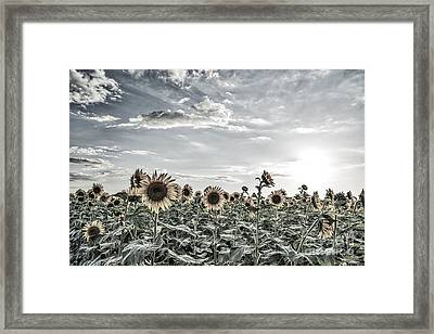 Colorized Sunflowers Fields Framed Print by Tod and Cynthia Grubbs