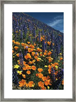 Colossal California Wildflowers Framed Print