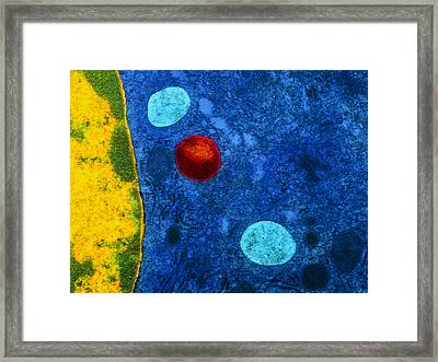 Colour Tem Of Primary Lysosome In Liver Cell Framed Print