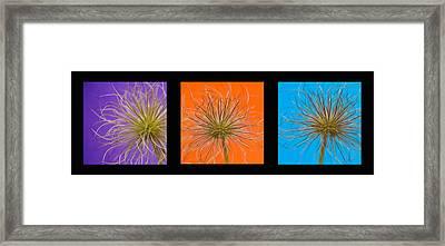 Colourful Crocus Triptych Framed Print by Lisa Knechtel
