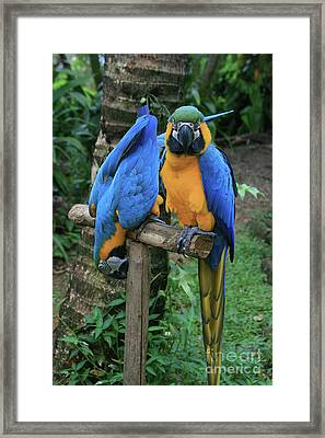 Colourful Macaw Pohakumoa Maui Hawaii Framed Print by Sharon Mau
