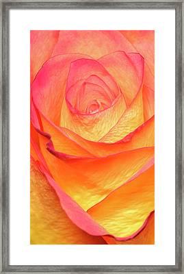 Colourful Rosie Framed Print by Roy McPeak