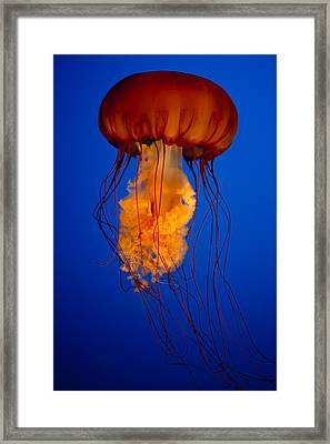 Colours Of The Jelly Fish Framed Print by Naman Imagery